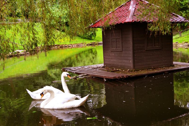 Ставок з лебедями у Стрийському парку