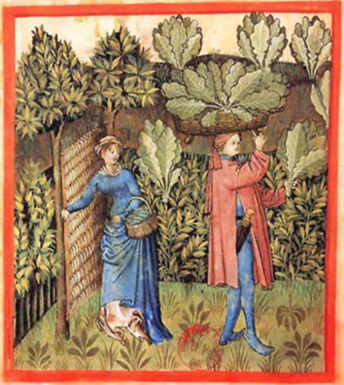 Збір урожаю капусти, західноєвропейська гравюра ХV століття