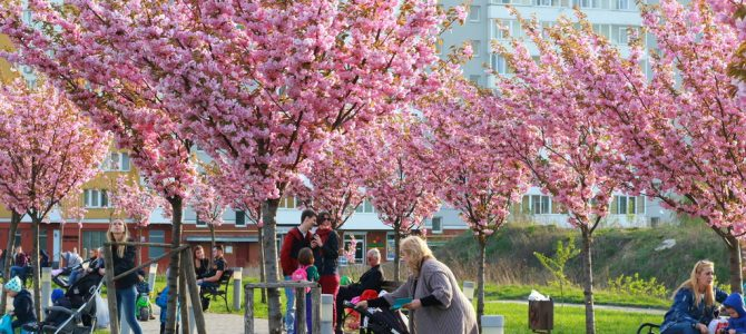 До Львова на сакури: у місті цвіте парк із японськими вишнями