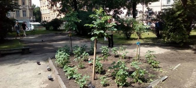 В історичному центрі Львова на клумбі вирощують картоплю (фото)