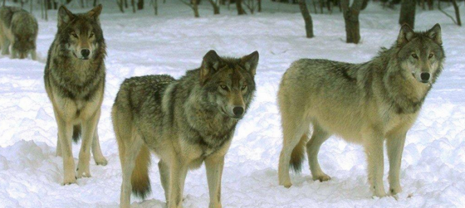 Жовківський лісгосп попереджає про зграю агресивних вовків між селами Бутини та Боянець