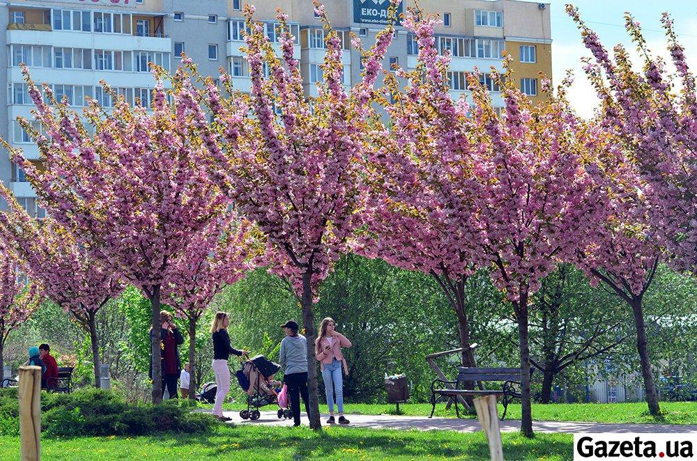 У парку імені Івана Павла ІІ, що в Сихівському районі Львова, цвітуть десятки сакур.