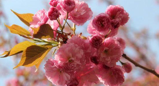 В Ужгороді масово зацвіли сакури (фото)
