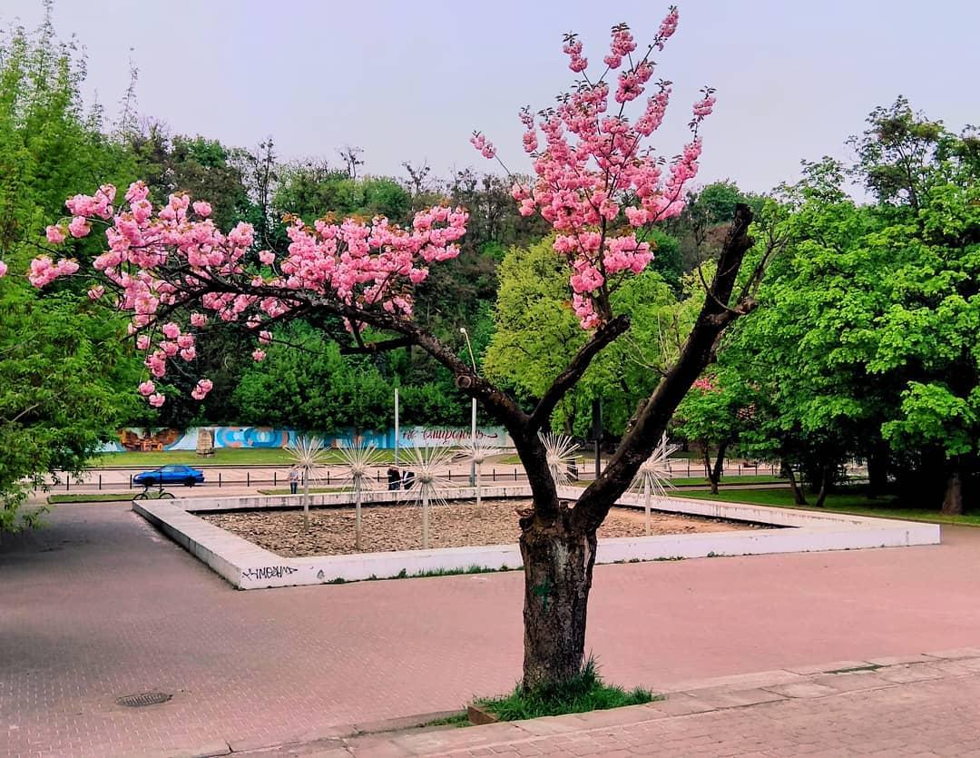Сакура при вході у парк культури та відпочинку ім. Б. Хмельницького