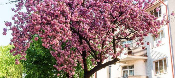 До Львова на сакури: 12 локацій для квітучих фотосесій