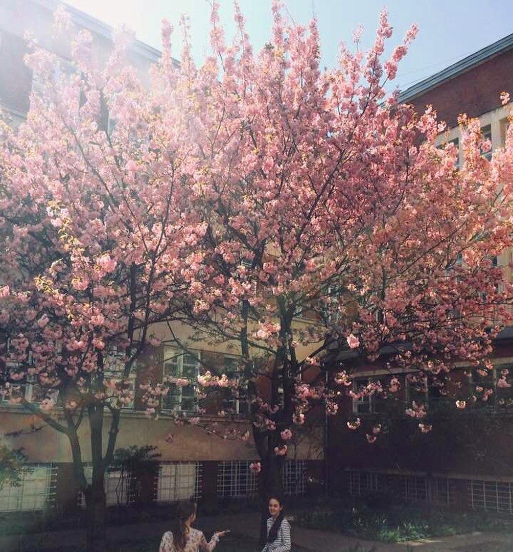 У дворі торговельно-економічного університету ростуть ось такі сакури. Висадили саджанці ще у 1989 році, а привезли їх аж із Хабаровська