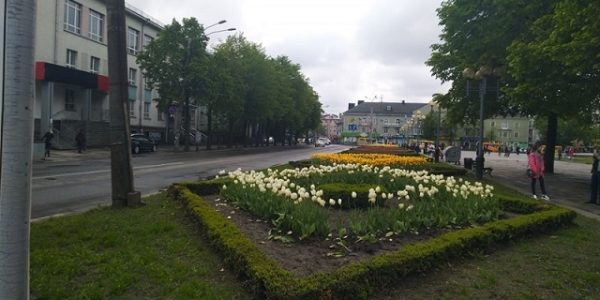«Юнак змусив саджати поцуплені тюльпани чоловіка у центрі Рівного»