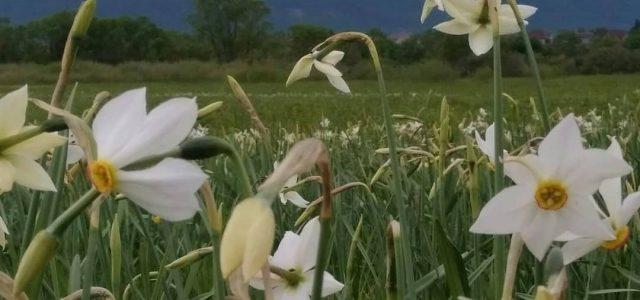 На Закарпатті зацвіла Долина нарцисів (фото)