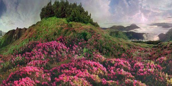 Парад рододендрону в Карпатах, або як цвіте Червона рута(Фото)