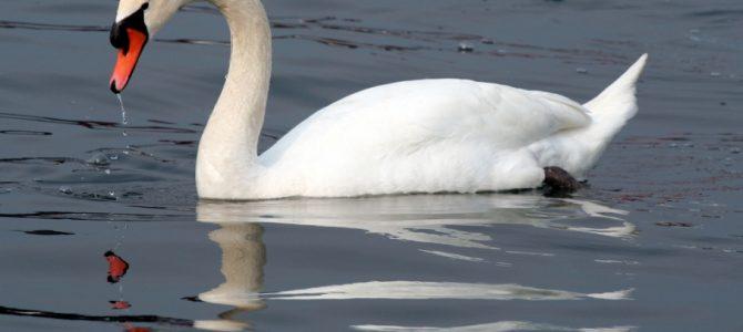 На Львівщині врятували дикого лебедя (фото)