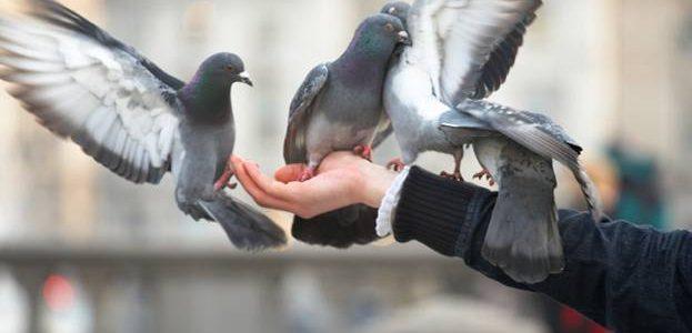 У Львові заборонили годувати голубів