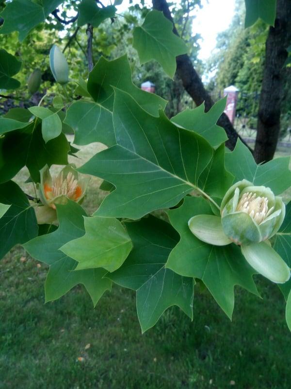 Унікальне тюльпанове дерево цвіте на Жовківщині (фото)