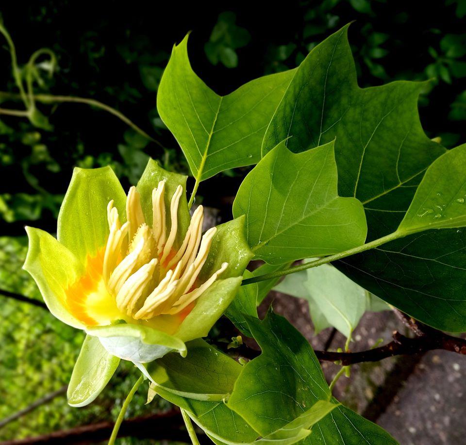 У Львові зацвіло тюльпанове дерево. Фото: Ботанічний сад ЛНУ ім.І.Франка.